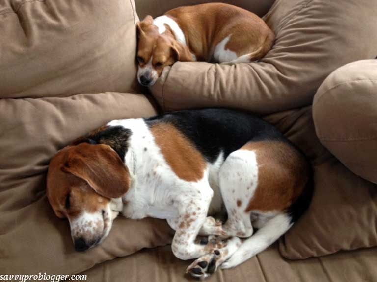 2 dogs sleeping on a couch beagle and mini beagle